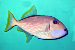 Blue Throated Triggerfish