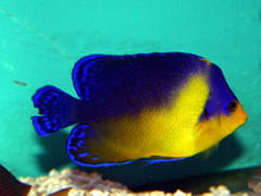 Purple Moon Angelfish